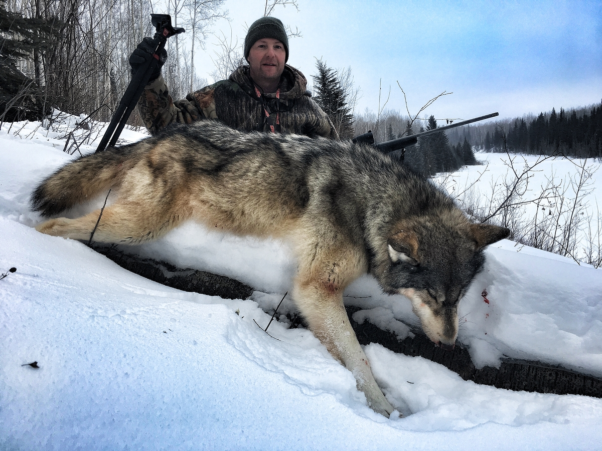 Alberta Canada Wolf Hunts - Timber King Outfitting